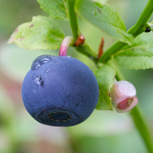 Bilberry – the bears' favourite food.