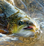 Voracious brown trout