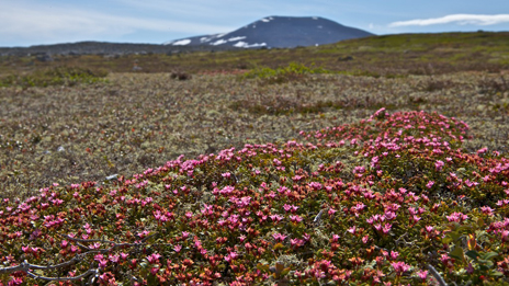 Trainling azalea – one of the tough survivors in the fells. Photo: Naturcentrum AB.