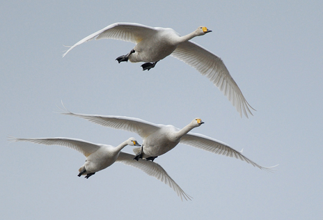 Whooper swans – flying visitors from far away. Photo: Naturcentrum AB.