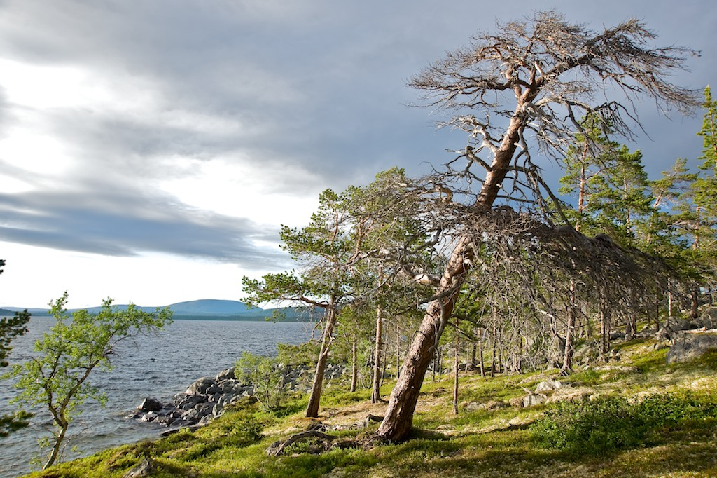 Old pine forest by Lake Rogen. Photo: Marcus Elmerstad.