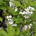 Flowering bird cherry at Häggrøsta.